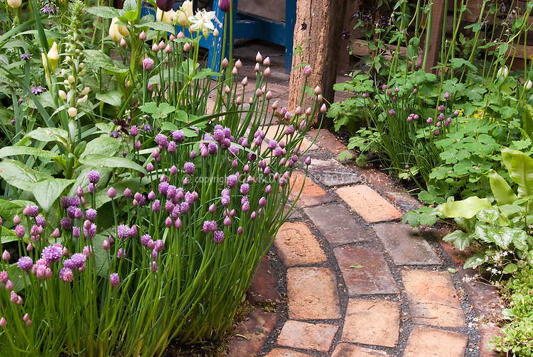 Herb chives in bloom (Allium) with flowers and other plants, next to brick curved path