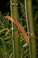 Lined leaf-tailed Gecko (Uroplatus lineatus) in bamboo forest, Madagascar.