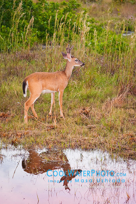 key deer, Odocoileus virginianus clavium, foraging at dusk, a subspecies of white-tailed deer, Odocoileus virginianus, endangered species, Big Pine Key, Florida Keys, Florida, USA