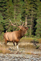 Bull elk in Canada during the fall rut