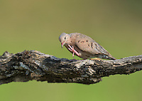 518180052 a wild mourning dove zenaida macroura scratches its feathers while perched on a large mesquite tree limb in the rio grande valley in south texas