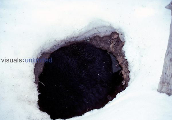 A Female Black Bear awakening from hibernation with cub in their den.