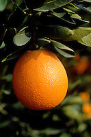 An ORANGE (Citrus sinensis) ripens on a tree in an ORCHARD - SOUTHERN, CALIFORNIA