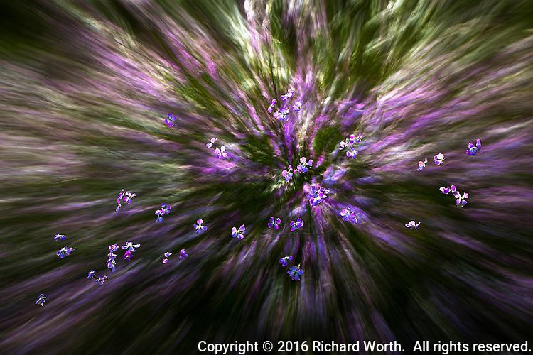 Abstract combination of two images of wild radish flowers.
