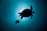 Green sea turtle (Chelonia mydas) silhouetted against the sun with batfish.