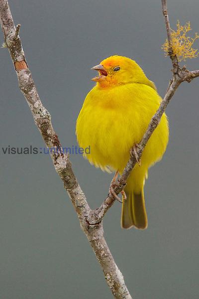Saffron Finch (Sicalis flaveola), Southeast Brazil.
