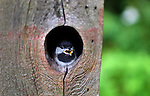 A Chickadee squawks from his nesting site within a carved out tree hole.