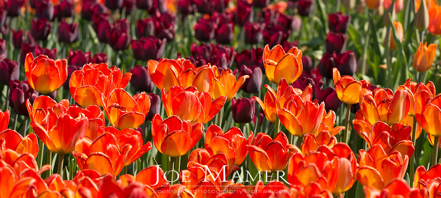 Tulips in bloom at the Minnesota Landscape Arboretum.