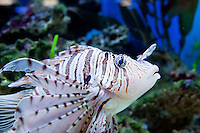 A Volitan lionfish (Pterois volitan - Rascasse volante) is pictured at the Aquarium du Quebec in Quebec city March 2, 2010. The Aquarium is the home of 10,000 marine animals including fish, reptiles, amphibians, invertebrates, and sea mammals.