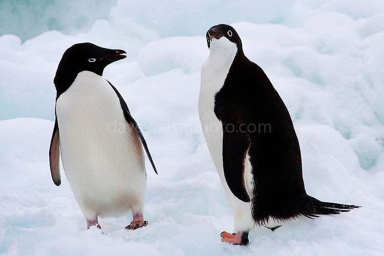 Adelie Penguins Cute penguins copy1 on emaze