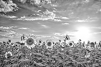 To see more like this please go to our  have  Black and White gallery. It took almost a whole month to capture these sunflowers because we would drive for four hours and then find that that had not opened up, then a week later we would again drive for four hours again to capture the sunflowers and they would not be looking very good yet so by our fourth trip we were able to capture  them.  I love the way they look naturally but in black and white the contrast brought out the the texture of the leaves and the flowers as they were standing tall on this nice day with clouds in the sky for a change.