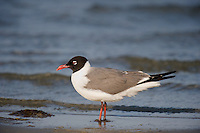 540000004 an adult franklins gull larus pipixcan stands in shallow surf along the south coast of texas