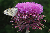 Black-veined White butterfly, Aporia crataegi, on thistle, Cirsium sp., <br /> Stenje region, Lake Macro Prespa (850m) <br /> Galicica National Park, Macedonia, June 2009<br /> Mission: Macedonia, Lake Macro Prespa /  Lake Ohrid, Transnational Park<br /> David Maitland / Wild Wonders of Europe