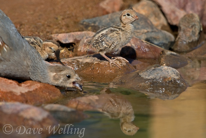 Green Valley (AZ) United States  city photos gallery : ... chick drink from a small pond in green valley arizona united states