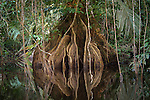 Reflections of a root system of a tree in the wetlands of Costa Rica