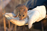 Veld Field Mouse