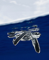 RW1726-Dv. Leatherback Sea Turtle hatchling (Dermochelys coriacea), 3 inches long, begins its new life swimming out into open water after hatching from an egg, emerging from the nest buried in the sand along the beach, and then crawling down the beach and out through the surf. Florida, USA, Atlantic Ocean. Cropped to vertical from native horizontal format.<br /> Photo Copyright &copy; Brandon Cole. All rights reserved worldwide.  www.brandoncole.com