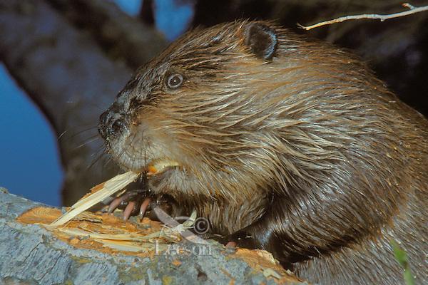 American Beaver (Castor canadensis) stripping bark for food.