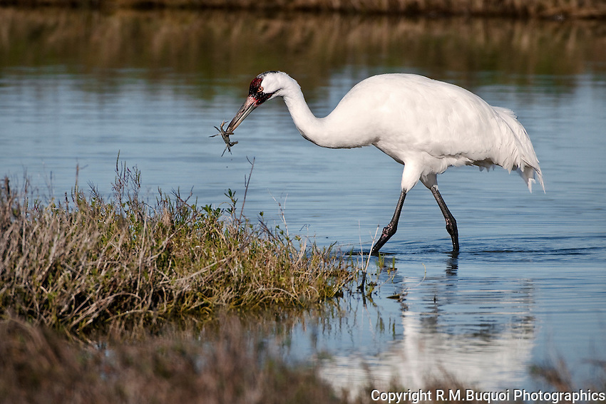 Whooping Crane feeding on baby Blue Crab