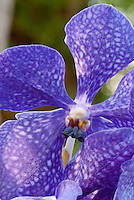 Vanda Orchid blue flower