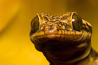 Close-up of gecko's face with large and unusual eyes.
