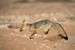 Cape fox, Vulpes chama, digging at den, Kgalagadi Transfrontier Park,Northern Cape, South Africa