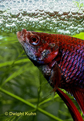 BY03-055z  Siamese Fighting Fish - male making protective bubble nest for eggs - Betta splendens