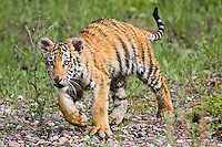 Young tiger walking along the shore of a small pond - CA