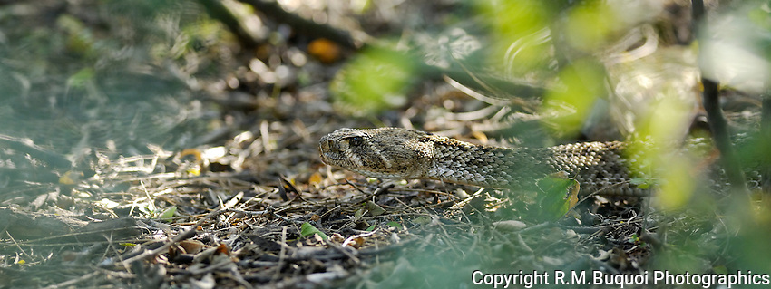 Western Diamondback Rattlesnake through the brush