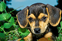 Adorable beagle mix puppy close up in evening garden