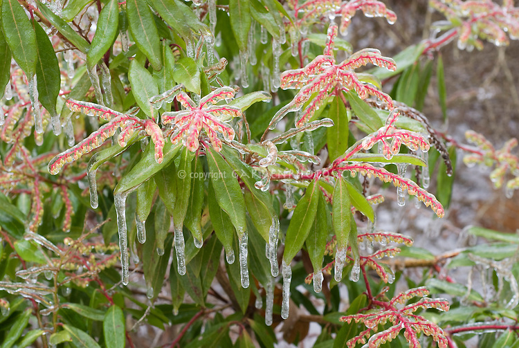 Pieris japonica shrub with winter ice