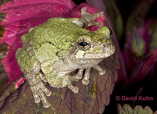 "0916-07nn  Gray Tree Frog - Hyla versicolor ""Virginia"" © David Kuhn/Dwight Kuhn Photography"