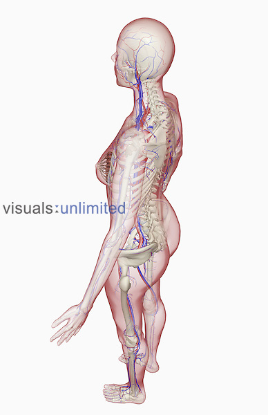 A superior posterolateral view (left side) of the female vascular system relative to the skeleton. The surface anatomy of the body is semi-transparent. Royalty Free