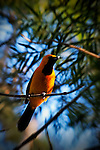 Birds - Bullock's Oriole on a Branch, Wild Birds of Newport Beach, California. Photo by Alan Mahood.