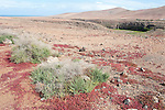Tough Shrub, Traganum moquinii, & Red Succulent Plant, Landscape Views of Los Molinos, Fuerteventura, Canary Islands, Spain, Chenopodiaceae family. protected species
