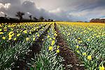 Daffodil field in Cornwall, UK