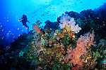A scuba diver observing the colorful soft corals found on a coral reef in the Witu Islands off New Britain Island, Papua New Guinea.