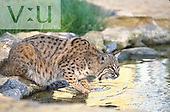 A Bobcat drinking ,Felis rufus,, North America.