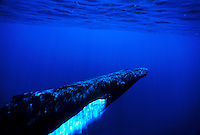 Underwater view of humpback whale off the Isalnd of Maui.