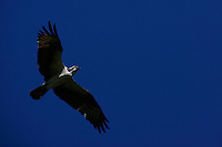 Everglades, Fla. -- Feb. 17, 2007 -- An osprey takes flight in the Big Cypress National Preserve just north of Everglades National Park on the southern tip of Florida on Saturday, Feb.  17, 2007.