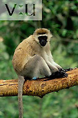 A Vervet Monkey ,Cercopithecus aethiops, Kenya