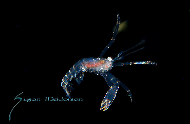 Spiny Lobster postlarval, Black Water diving over Gulfstream Current,depth 600 ft. Full moon, Super moon, with Pura Via Divers, off Singer Island, Florida, during Super Moon