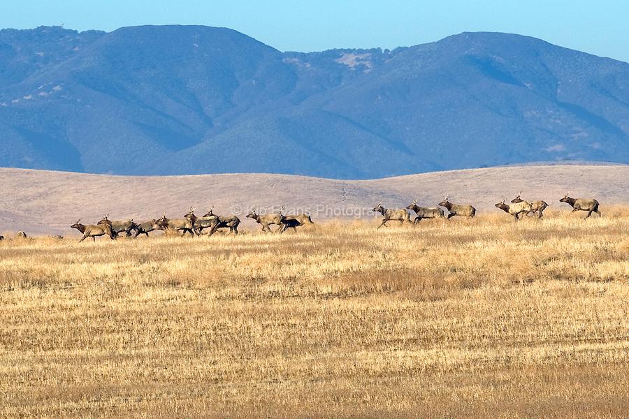 A herd of Tule Elk, Carrizo Plain California