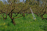 Orchard with ladder spring Twin Rivers Park Roseburg Oregon State USA
