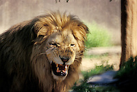 one large snarling african male lion