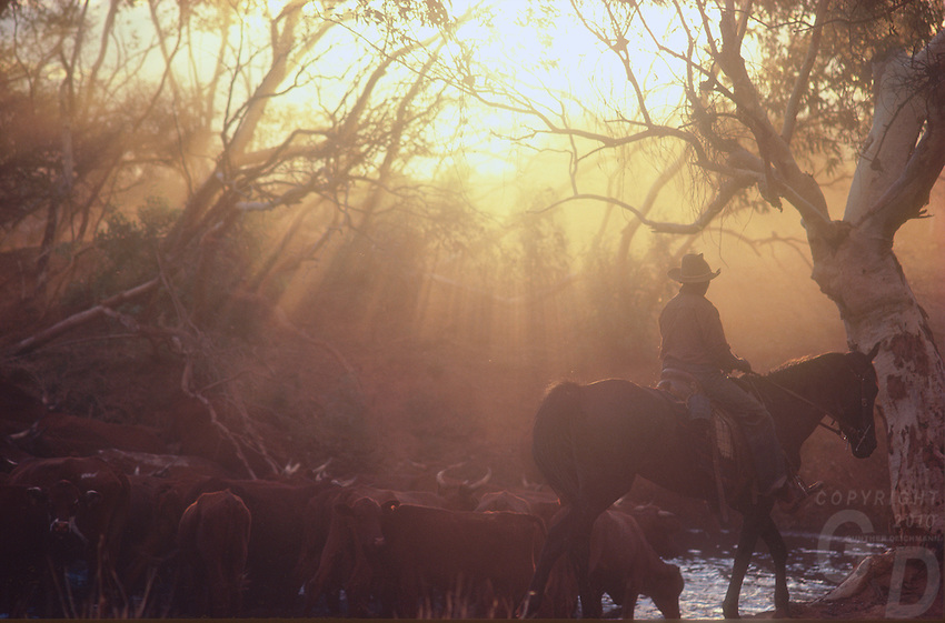 Aboriginal stockman mustering cattle in the outback of the Northern Territory, Australia