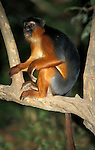 Red Colobus Monkey, Colobus Piliocolobus pennanti , sitting in tree, in forest, West Africa.Gambia....