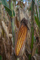 An ear of corn nearly ready for harvest on an Ohio farm.
