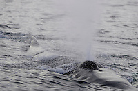 Humpback whale Megaptera novaeangliae surfacing and spouting near Spitzbergen