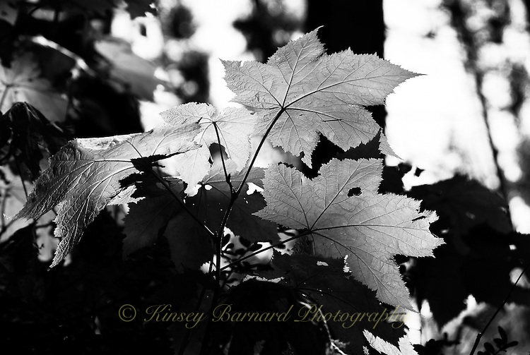 Black & white broad leaf plant filtering the sun in the Kootenai National Forest